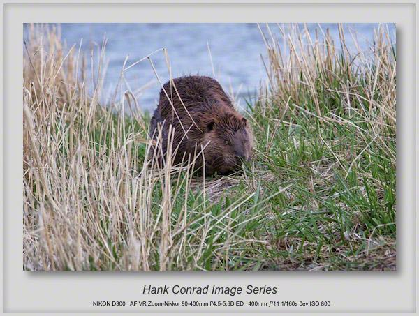 April Fool Beaver