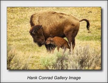 Newborn Bison