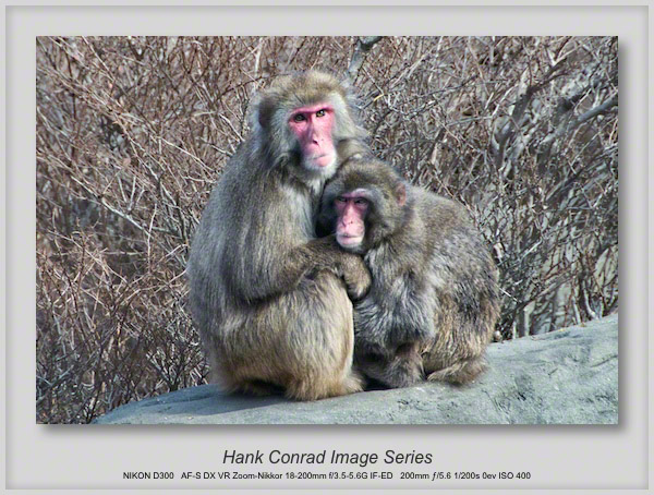 Snow Monkey Pair