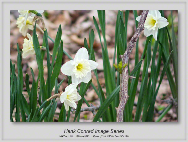 Daffodils on Walkabout