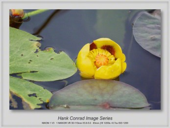Yellow Lily Pad
