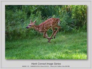 Fawn White-tailed Deer
