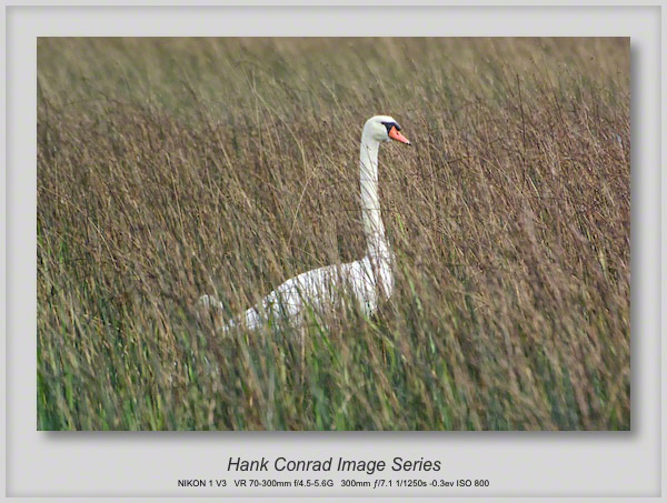 Swan in the Weeds