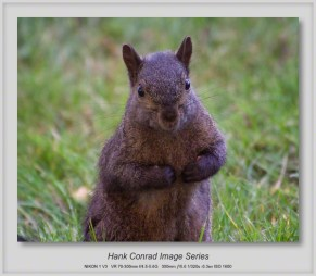 Black/Gray Squirrel