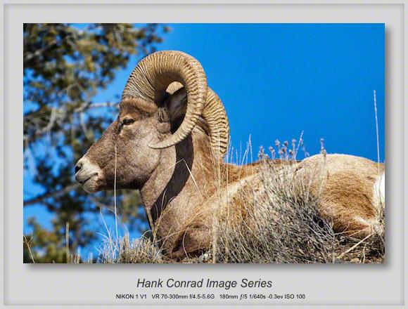 Bighorn Sheep at Badlands NP