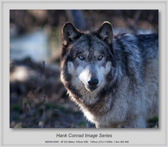 Grey Wolf Portrait