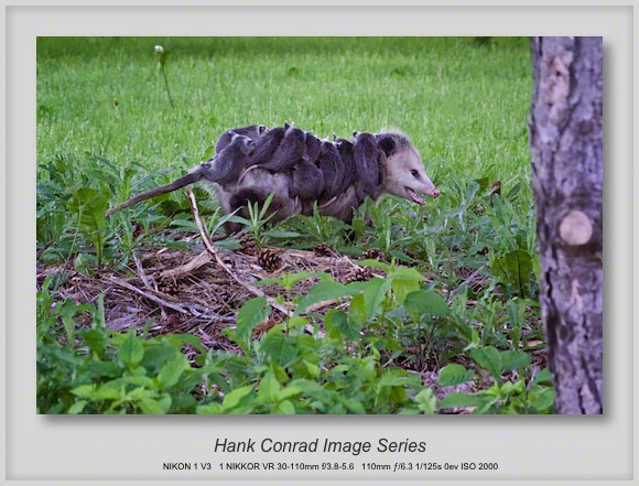 Running Opossum with Babies