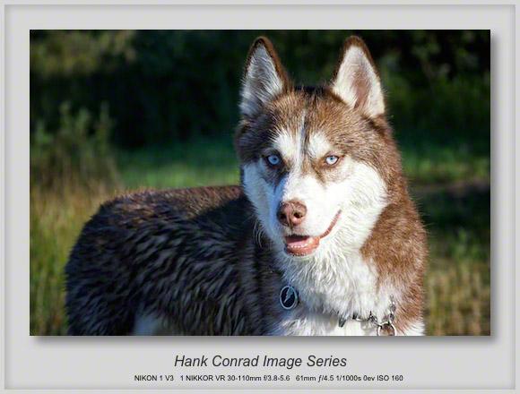 Wet Husky