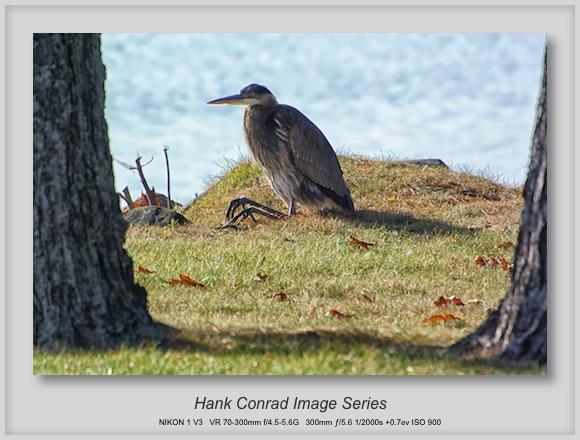 Great Blue Heron Sitting