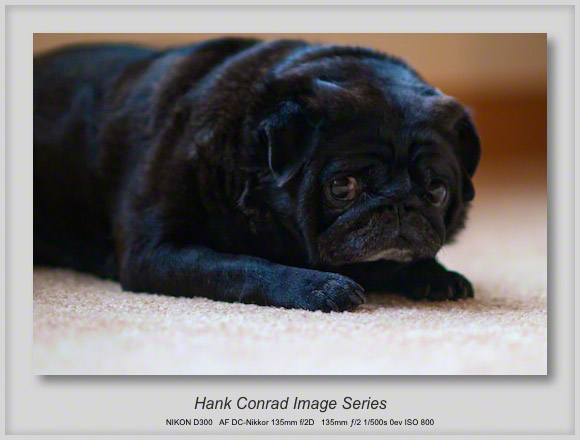 Small but Mighty Black Pug