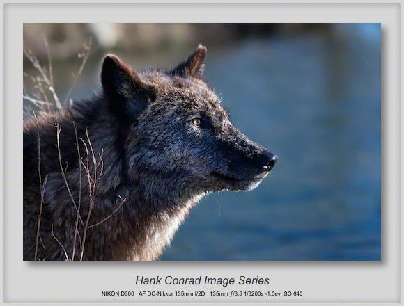 Wolf @ Wolfpark