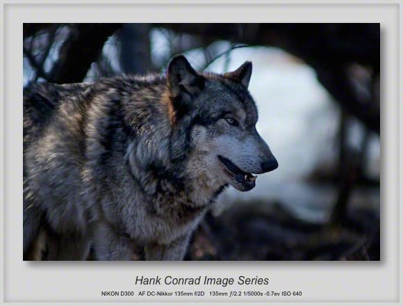 Grey Wolf @ Wolf Park