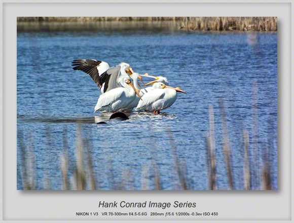 American Pelicans at Play