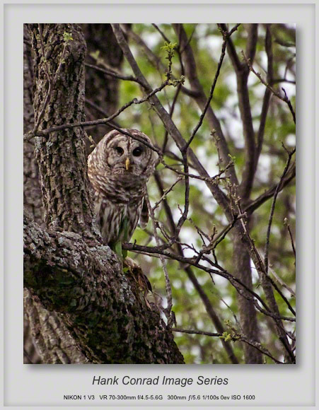 Barred Owl Once More