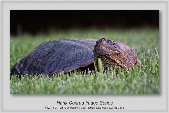 Common Snapping Turtle Eyeball to Eyeball