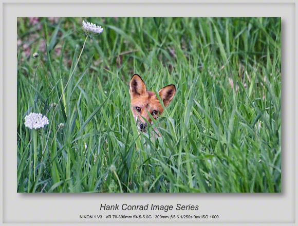 Red Fox in the Weeds