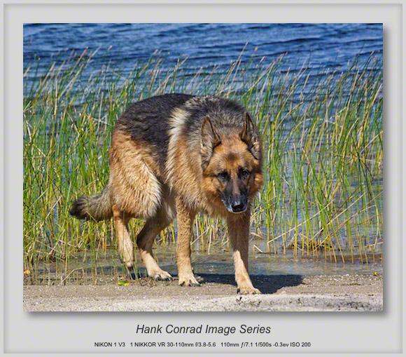 German Shepherd on the Beach