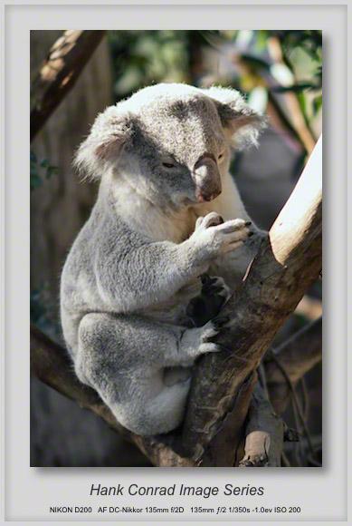 Koala @ San Diego Zoo