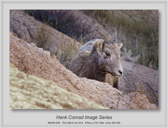 Juvenile Bighorn Sheep