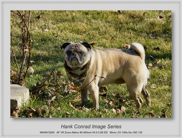 7 Image Story | Pug Anticipating Thanksgiving Dinner