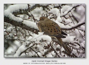 Snow Makes the Image | Morning Dove