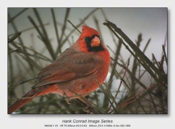 Winter Birds by Feeder | Male Northern Cardinal