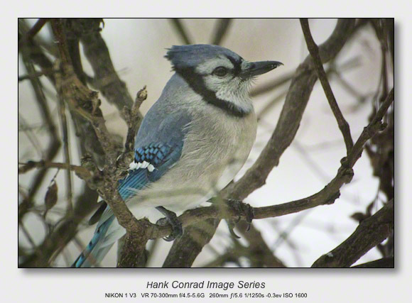 Winter Birds by Feeder | Blue Jay