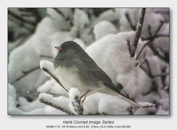 Winter Birds by Feeder | Dark-eyed Junco
