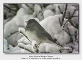Winter Birds by Feeder | Dark-eyed Junco