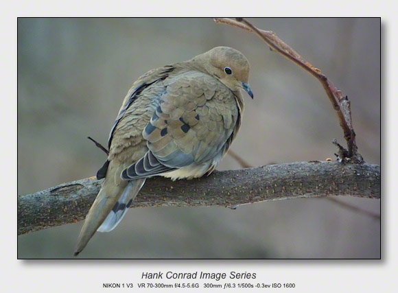 Winter Birds by Feeder | Morning Dove