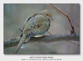 Winter Birds by Feeder | Morning Dove