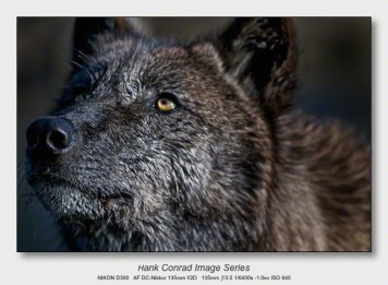 Wolf Park Wolves | Wet Wolf