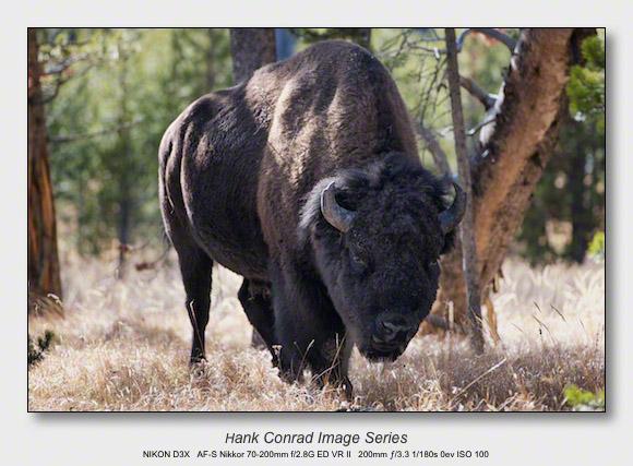 American Bison | Bison Bison