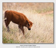 American Bison   Red Dog