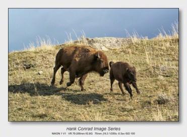 American Bison   Running Bison