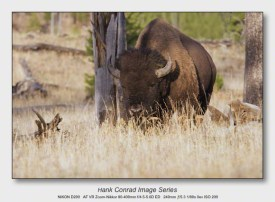 American Bison   Bison in Yellowstone