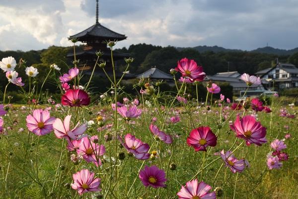 2015年秋の奈良・法起寺の秋桜