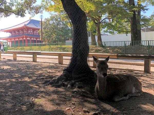 2019年11月奈良一人旅。奈良公園の鹿と、興福寺の中金堂
