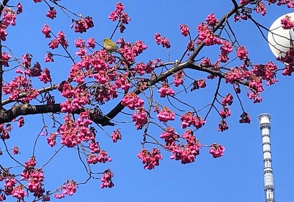★亀戸天神社の紅梅とウグイス