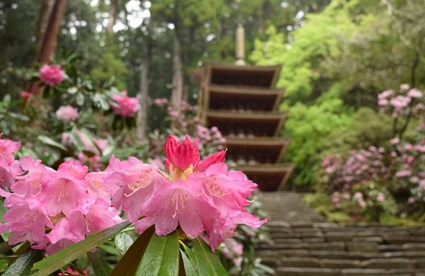 ★202104春の奈良一人旅。室生寺・五重塔とシャクナゲのコラボ。