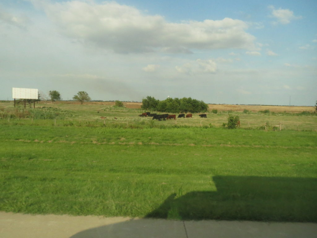 cows for mooing