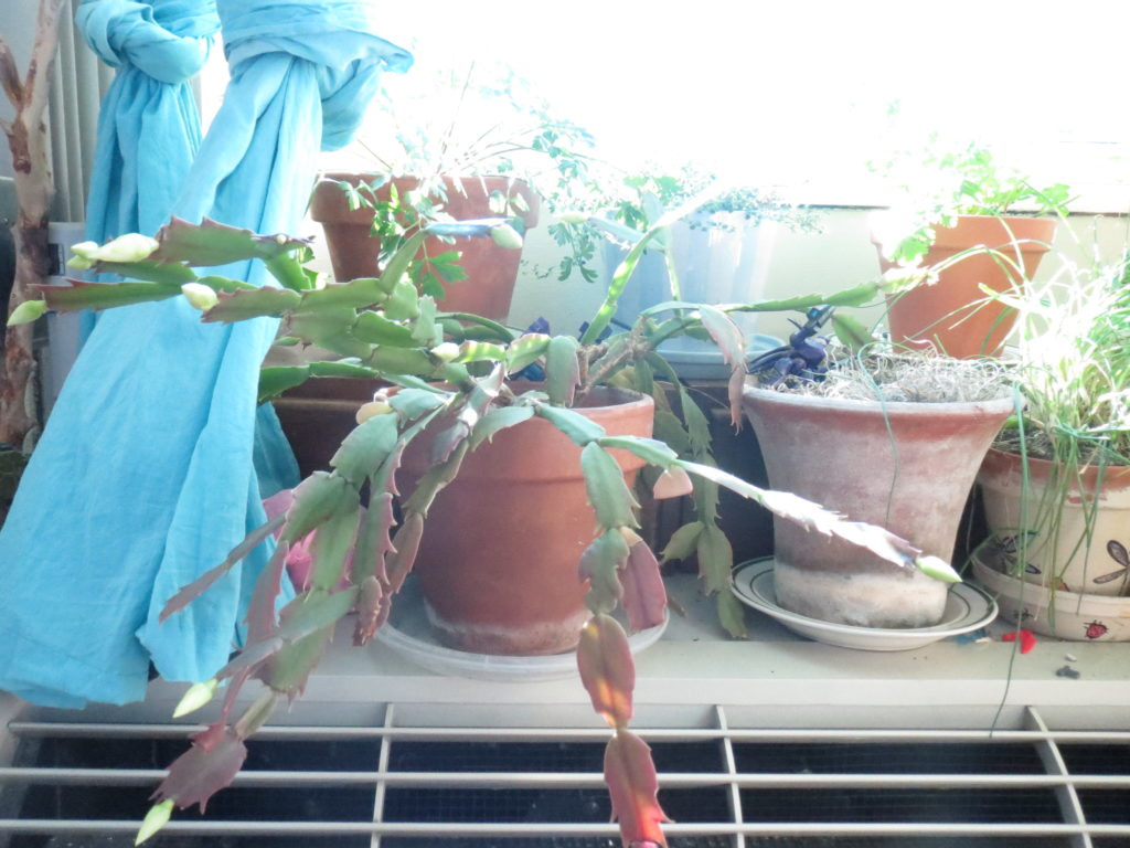 Christmas cactus is budding
