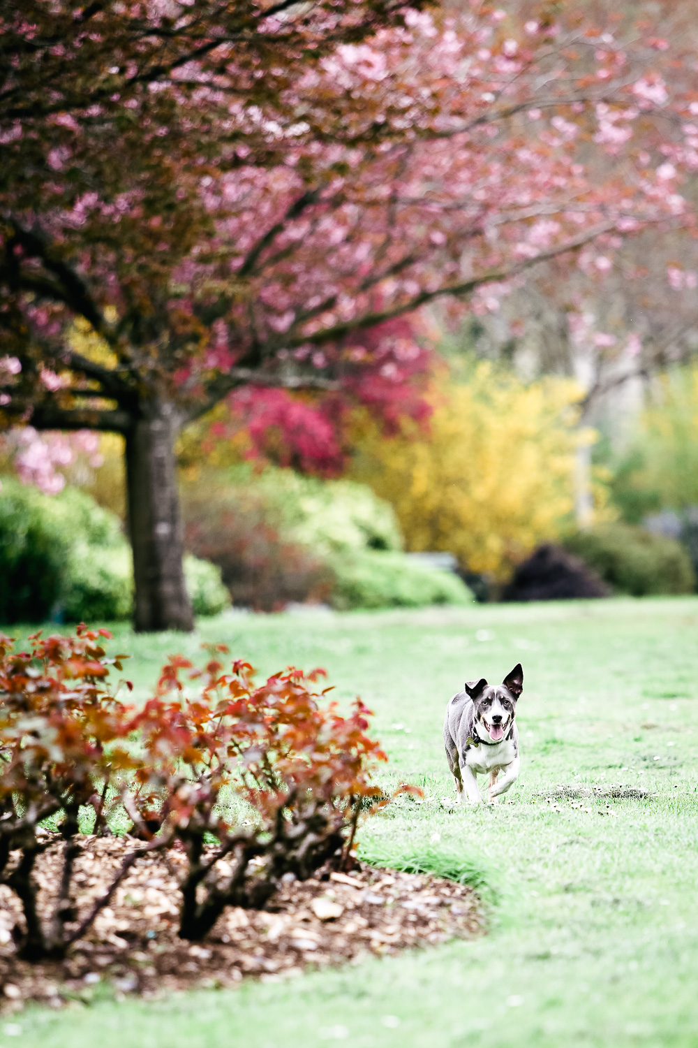 dog with cherry blossoms - hannah timm photography