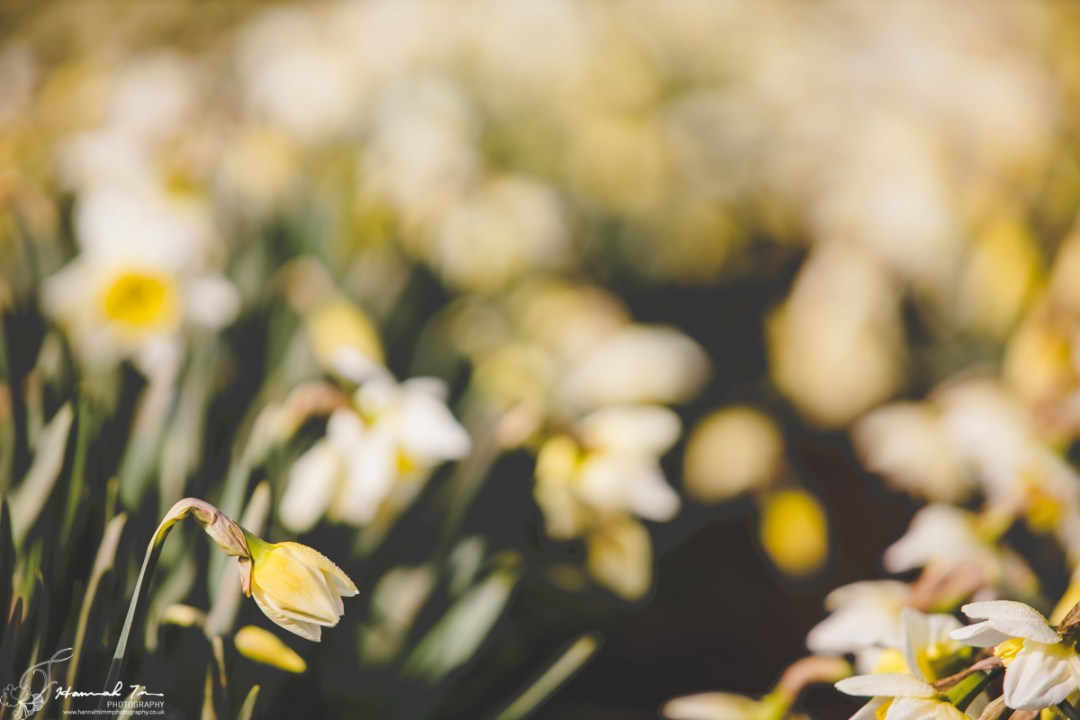 daffodils cornwall