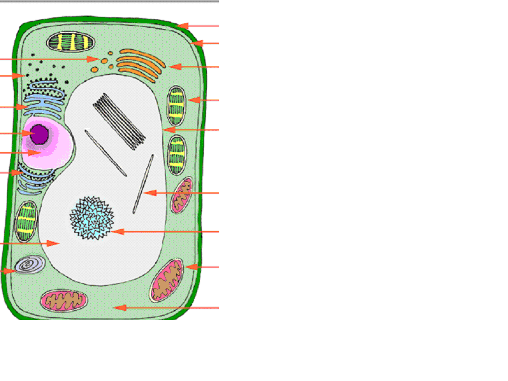Plant Cell No Labels