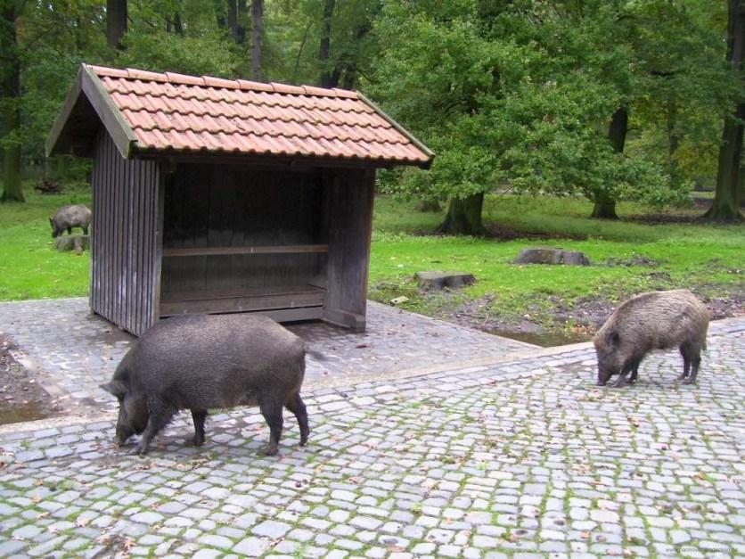 Wildschweine im Tiergarten