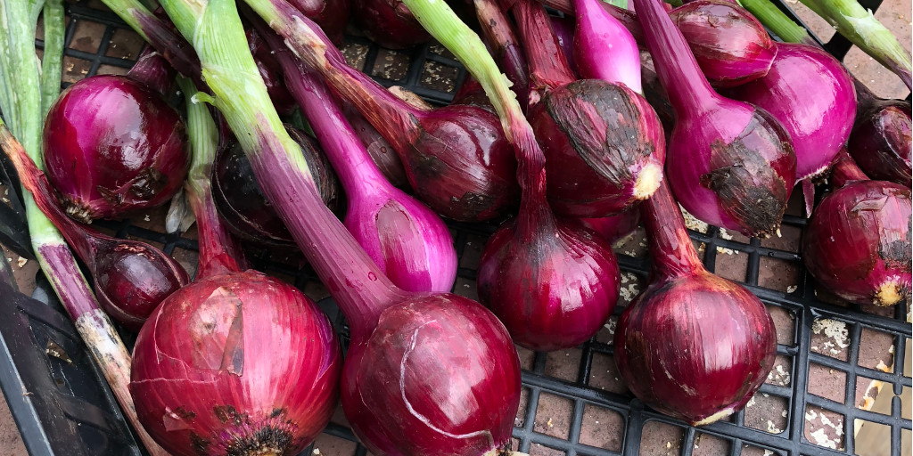 Photo: freshly harvested red onions