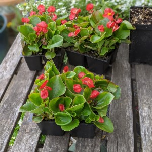 photo: red begonias on table