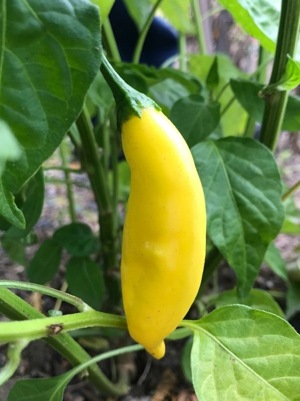 photo: bright yellow pepper on plant