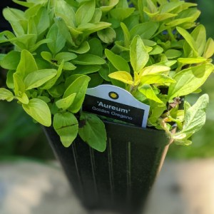 photo: potted herb, golden